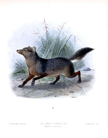 drawing of a short-eared dog in the Amazon