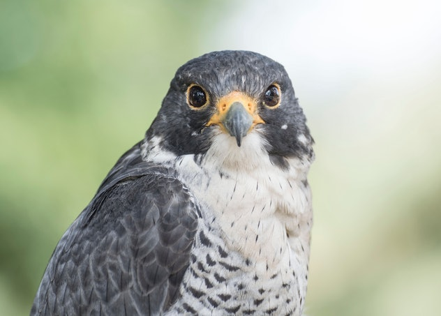A hawk.