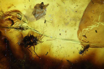 two mating flies and a biting midge preserved in amber