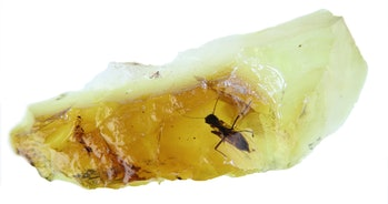 yellow amber with preserved biting midge