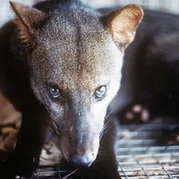 """Mysterious """"dogs"""" in the Amazon face an existential threat — study"""