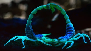 neon scorpions battling at night