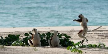 lemurs on a beach
