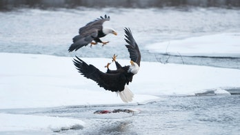 eagles fighting above ice in Alaska