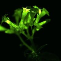 Scientists hack bioluminescence to create glowing houseplants