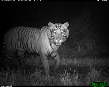 adult male tiger in Nepal's Chitwan National Park