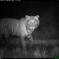 3 major threats to tigers could be eliminated with one infrastructure change — study
