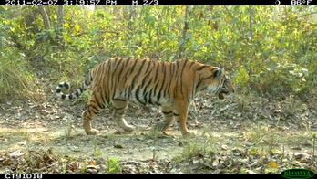 adult tiger walking along a dirt road in Nepal's Chitwan National Park