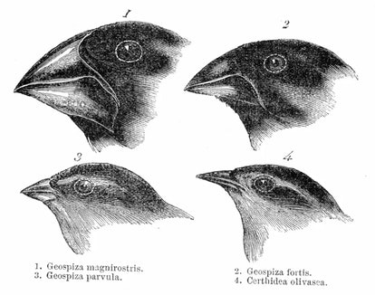 Darwin recognized that finches with beaks adapted to the specific food sources present on an island ...