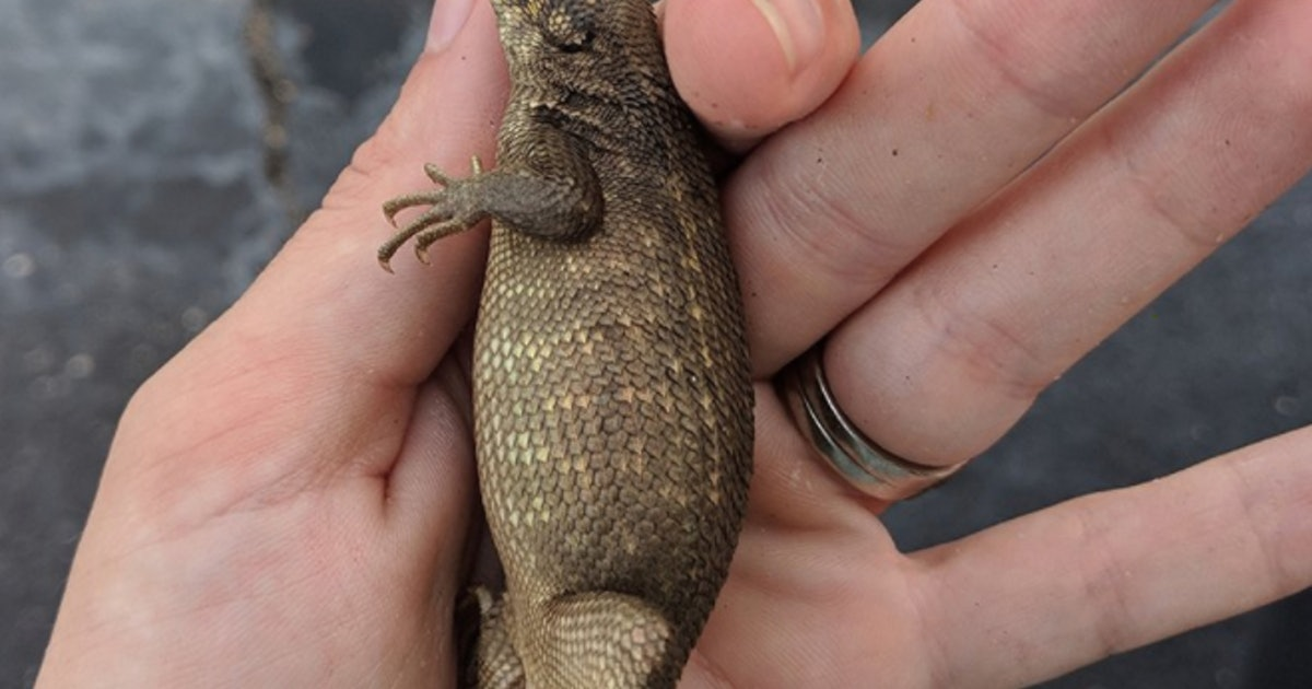 Florida lizard breaks record for largest poo ever recorded in a living animal
