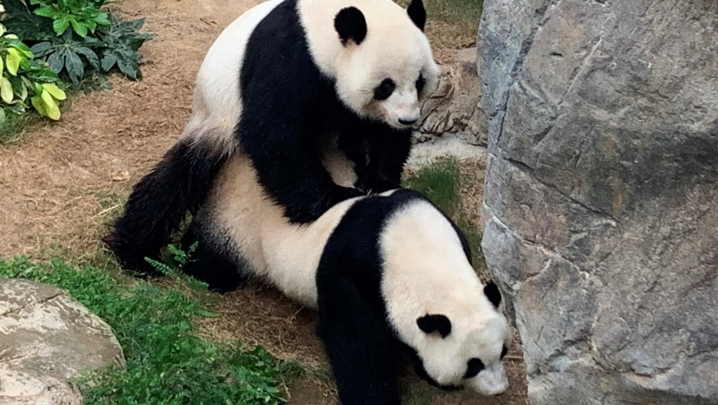 Giant pandas in Ocean Park, Hong Kong are mating for the first time in 10 years.