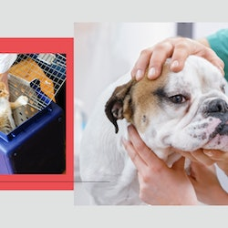 A cat in a pet carrier and a bulldog at the vet. Coronavirus caused a boom in pet adoptions, but veterinarians say they now are struggling to keep up.