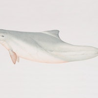 """The science behind why dolphins in Australia are delivering """"gifts"""""""