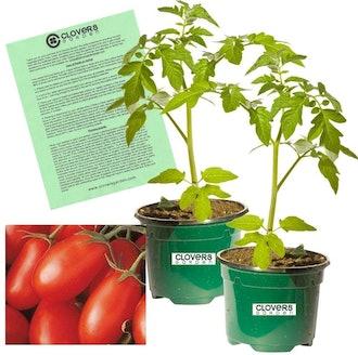 Clovers Garden La Roma 2 Red Tomato Plant