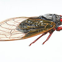 Brood IX: Why 2020's cicada visit will be different than past arrivals