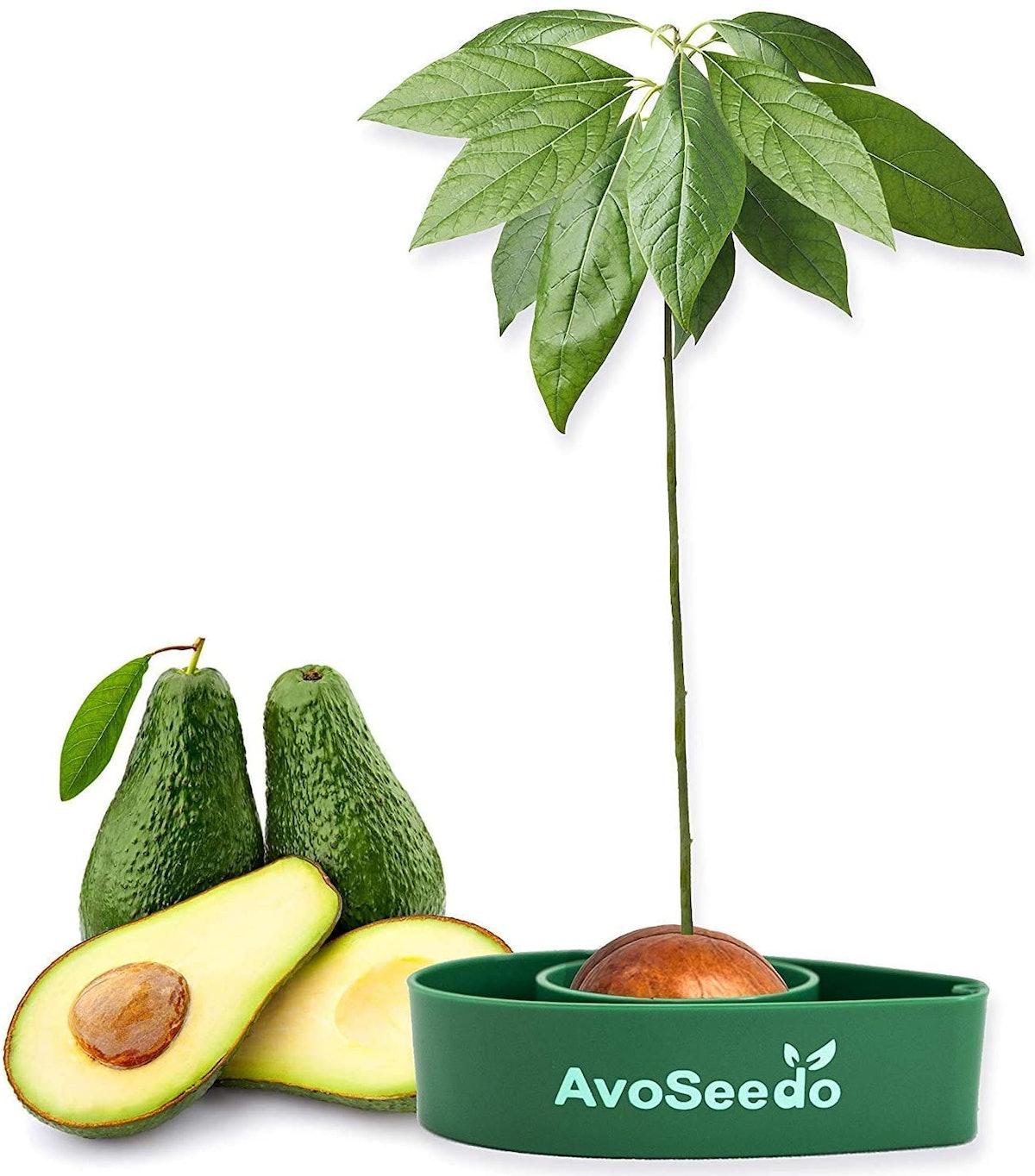 AvoSeedo Avocado Tree Growing Kit