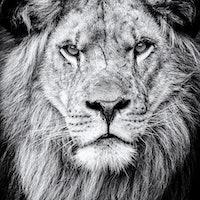 Lion evolution study reveals a roadmap for big cat repopulation