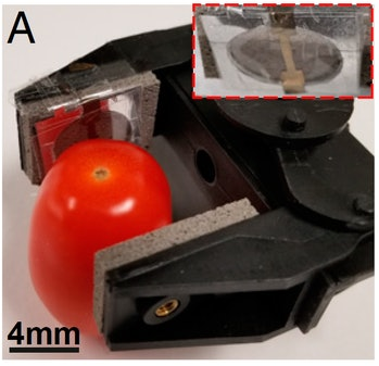 A robot gripper holding a tomato.