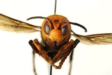An asian giant hornet, otherwise known as murder hornet.