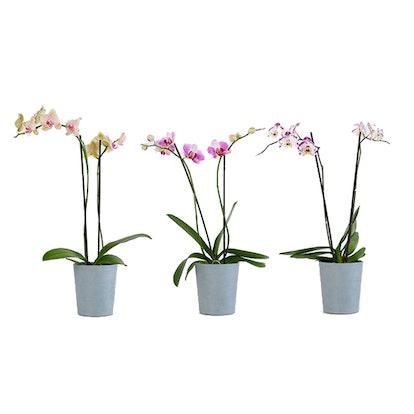 Farmer's Choice Orchid