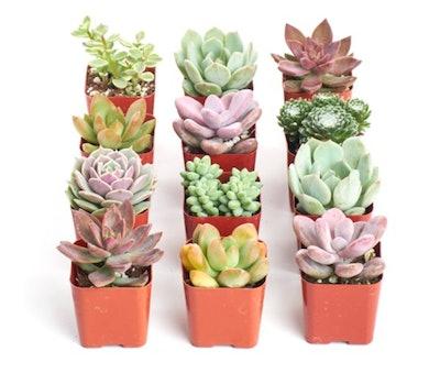Home Botanicals Premium Pastel Succulent (Collection of 12)