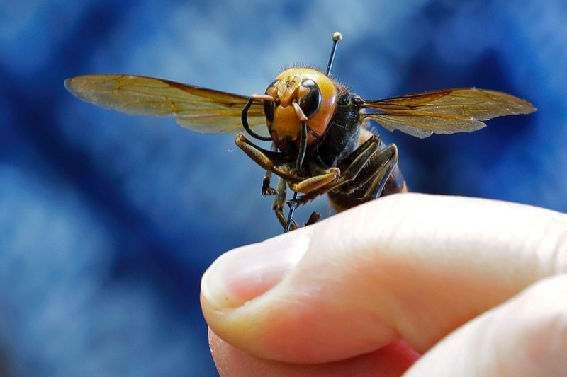 A murder hornet on a pin. Dreaming about bugs during the coronavirus pandemic is a typical stress response, experts explain