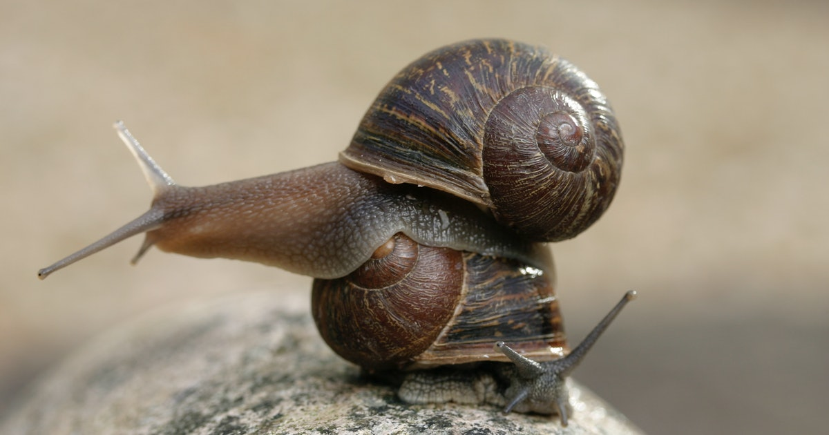 Rare snail makes science history thanks to international hunt for a mate