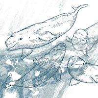 Study reveals curiously human-like social ties among beluga whales