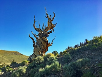 Ancient bristlecone pine tree in California's White Mountains