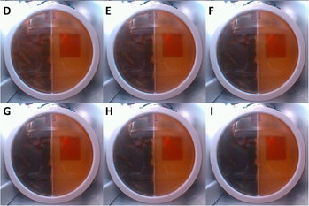 Pictures of six Petri dishes containing a radiation-resistant mold.