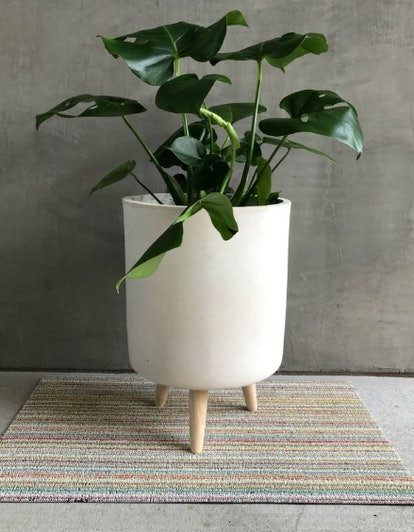 Monstera Deliciosa 'Swiss Cheese Philodendron'