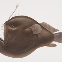 Strange anglerfish sex is teaching scientists about the immune system