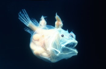 Angler fish, female with males attached, pisces linophrynidae