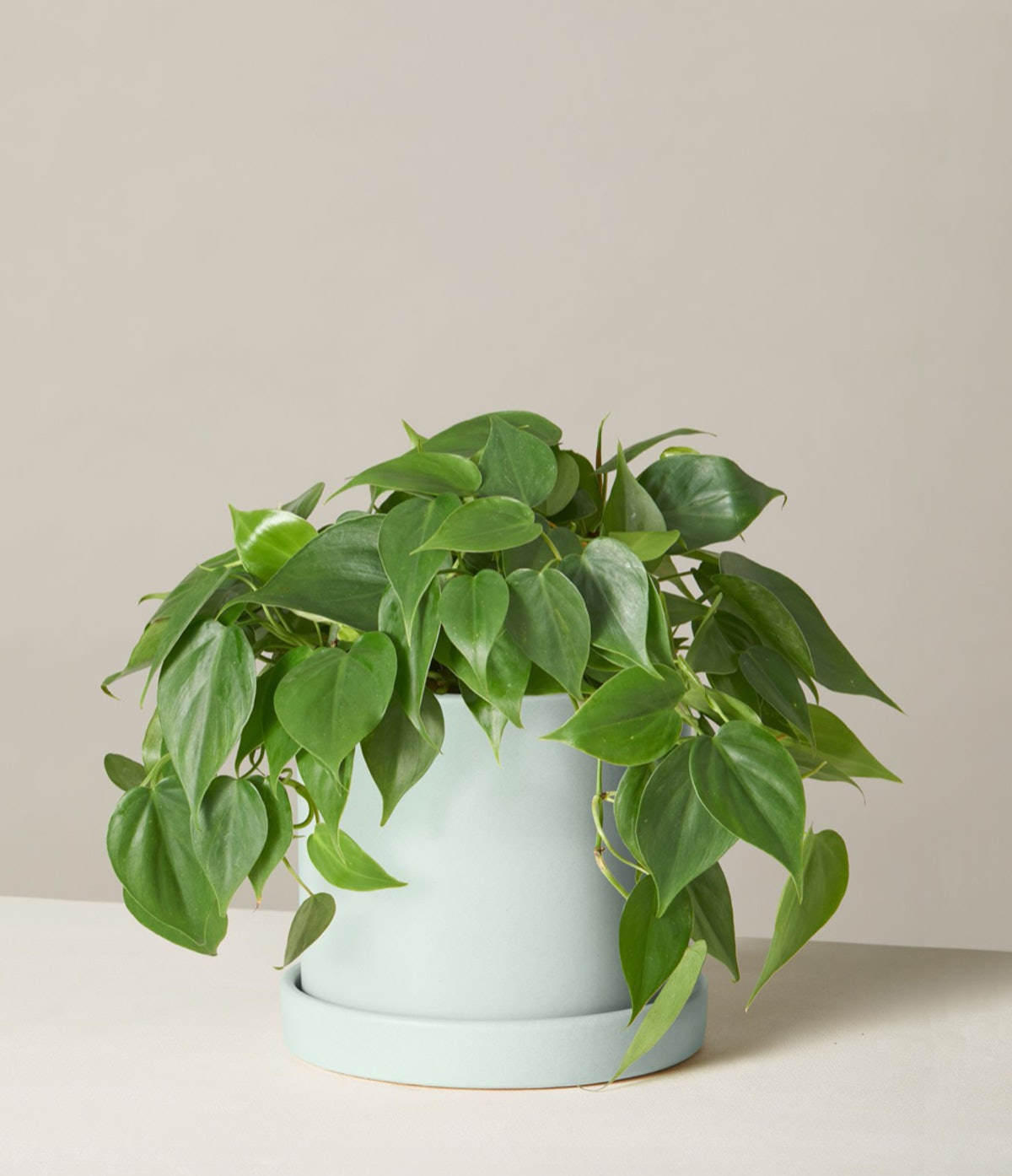 Philodendron Green Potted In Hyde