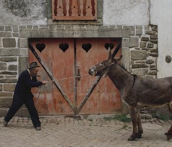 Man pulling a stubborn donkey.