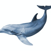 Dolphin study could lead to strategies for slowing down human aging