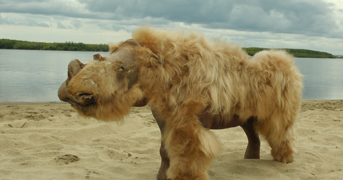 Humans off the hook for woolly rhino extinction — study