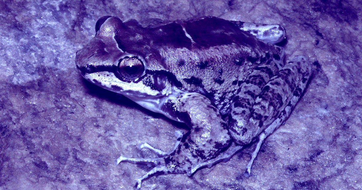 Rainforest frogs make a case for successful love triangles