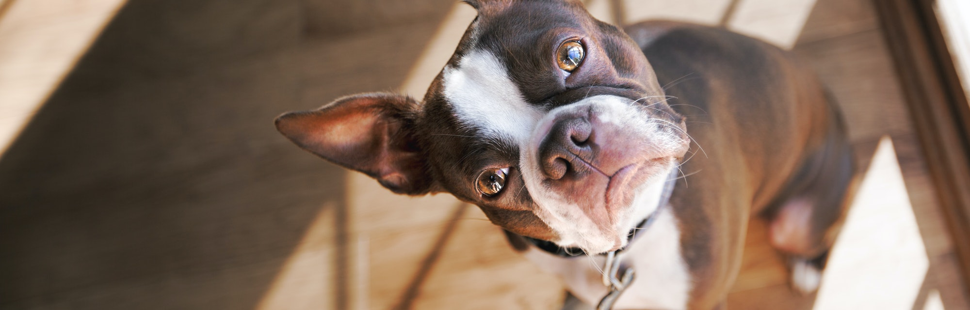 Boston Terrier dog with head tilted.