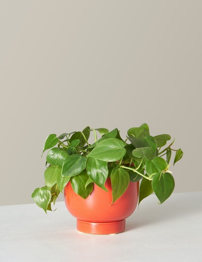 The Met Red Planter & Philodendron