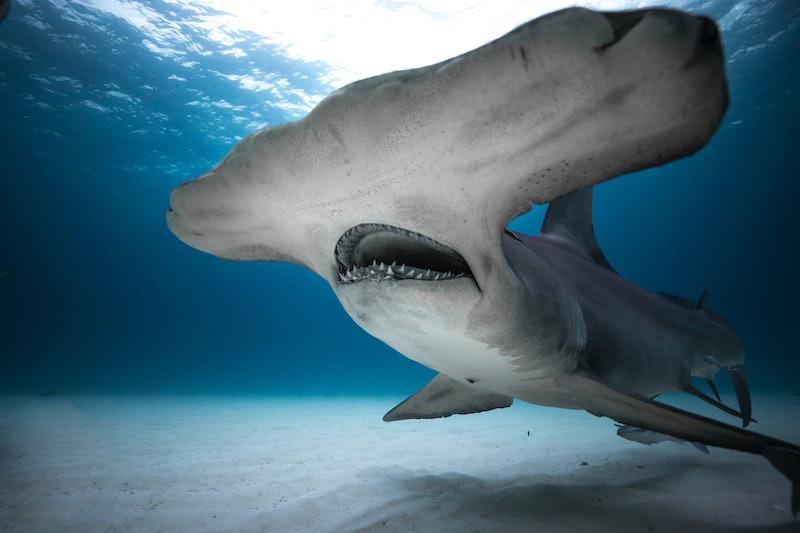 Hammerhead Shark from 'Shark Week 2019'