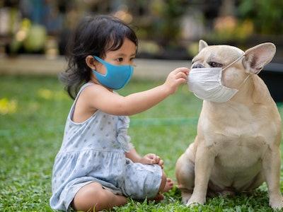 young girl wearing mask, petting french bulldog dog wearing mask