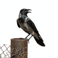 Four wild ways birds have evolved to live alongside humans