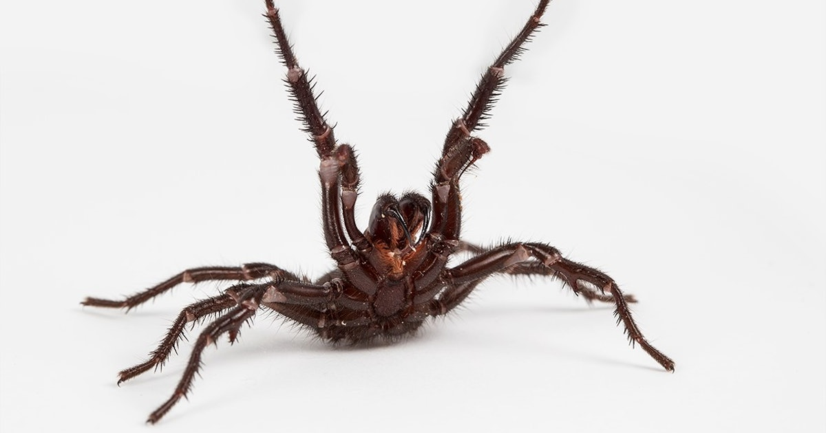 """Notorious Australian spiders kill humans by """"evolutionary coincidence"""""""