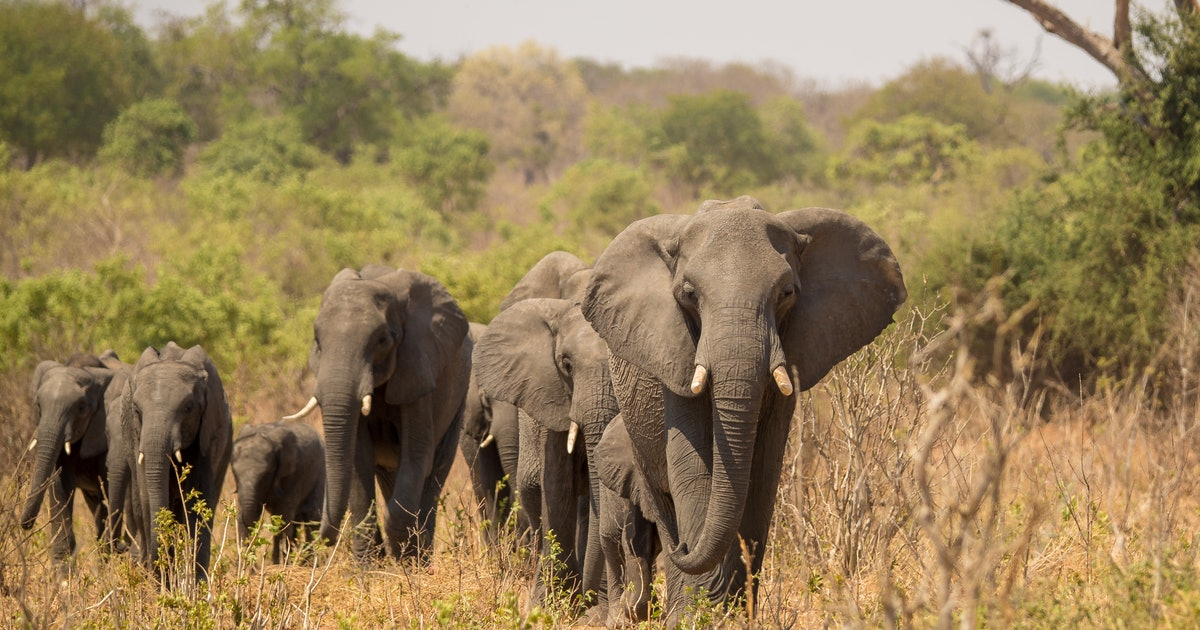Why an ancient organism is killing elephants at an alarming rate