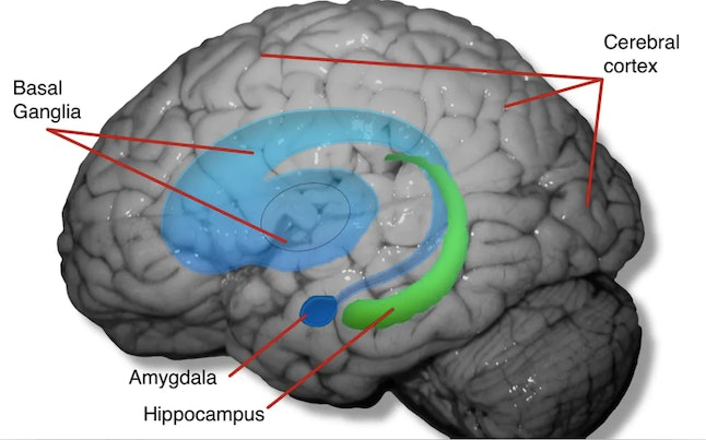 The cerebral cortex, hippocampus and amygdala are physically altered by captivity, along with brain circuitry that involves the basal ganglia.
