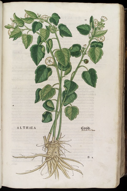 Althaea officinalis or marshmallow root has been used to treat sore throat for hundreds of years.