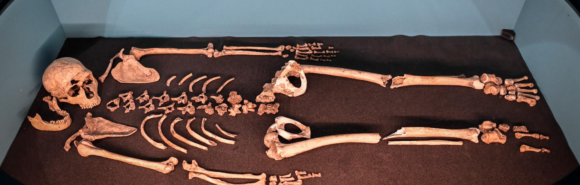 A Neanderthal skeleton on display.