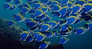 surgeonfish school