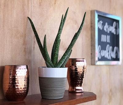 Costa Farms Aloe Vera Plant